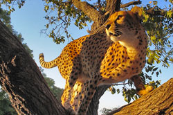 Closeup of Cheetah in a tree at the Namibia Cheetah Sanctuary