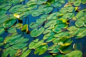 Green lily leaves cover a dark lake surface in evening light.
