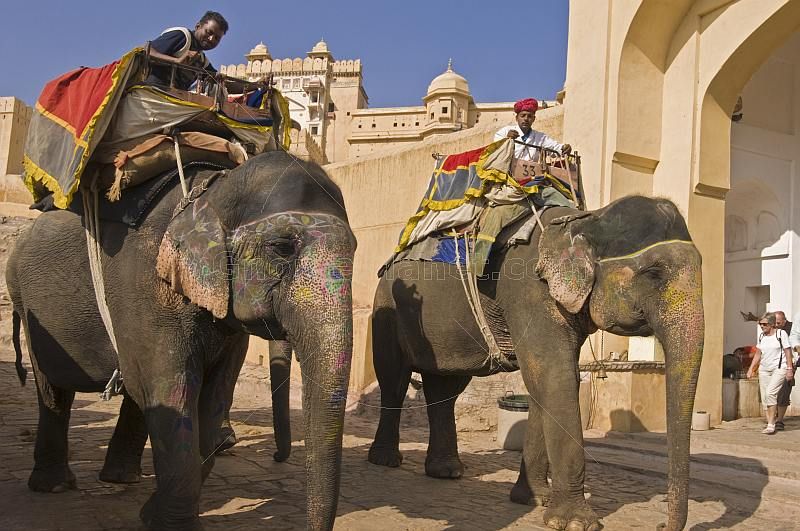 Elephants walk down the ramp from the Amber Fort and the Amber Palace.