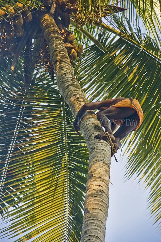 Old man climbing a coconut palm tree.