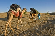 A guide leads two trekking camels across the desert.
