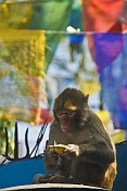 A monkey eats a snack in front of colorful prayer flags at the Mahakala Temple on Observatory Hill.