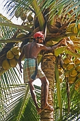 caption: Indian man in lunghi climbs a coconut palm tree.