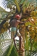 Image of Indian man in lunghi climbs a coconut palm tree.