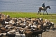 Shepherd on horseback drives his flock of sheep away from the Ertis River.