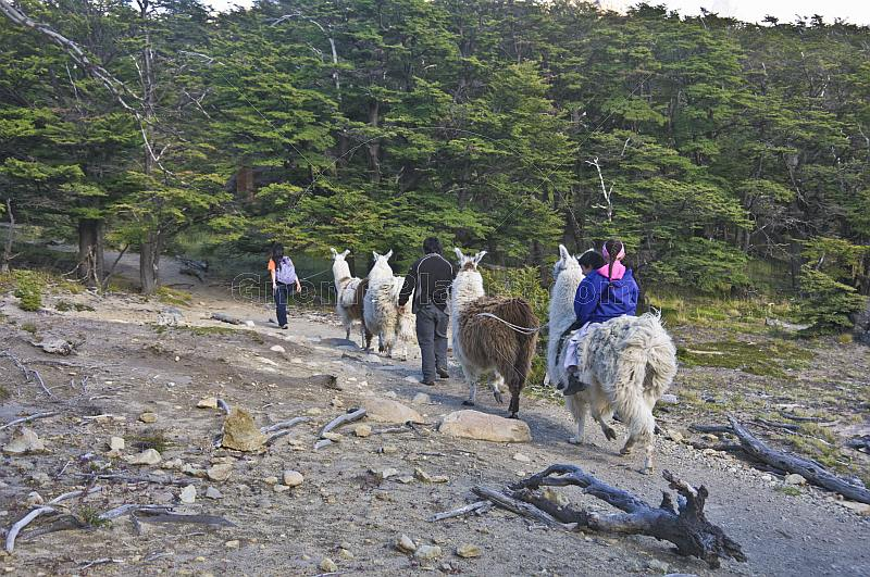 Trekking with llamas in the Parque Nacional Los Glaciares.