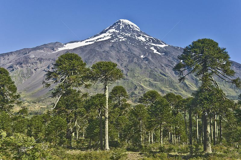 Forest of Monkey-puzzle Trees (Araucaria araucana) in front of the Lanin Volcano.