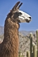 Llama head closeup with cacti background.