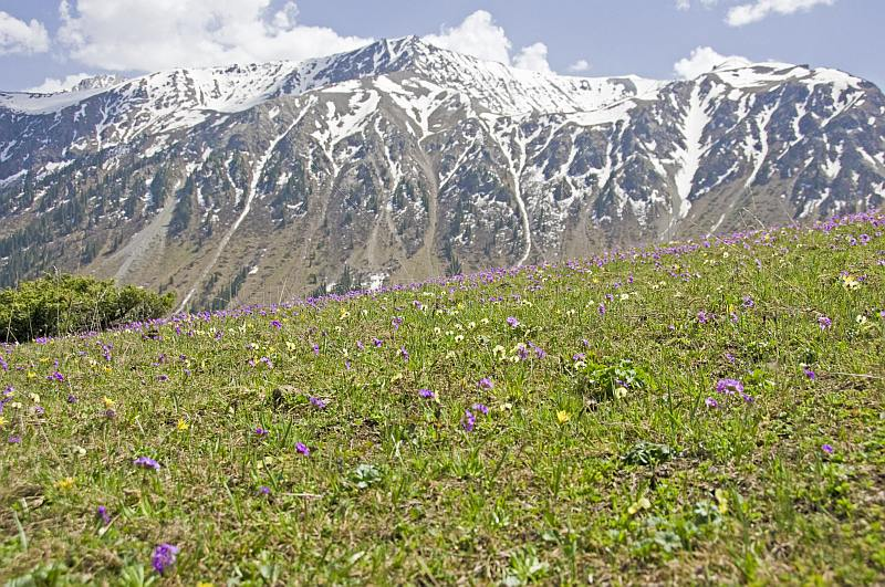 Purple flowers contrast the snow-capped mountains of the Sarycat Ertas Nature Reserve.