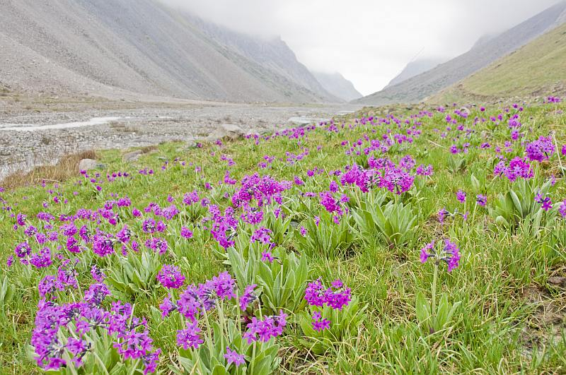 Purple flower-filled meadows border the Ala-Archa River and the Alatau Mountain Valley.