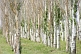 Three lines of Poplar trees near the Ala-Archa Canyon, south of Bishkek.
