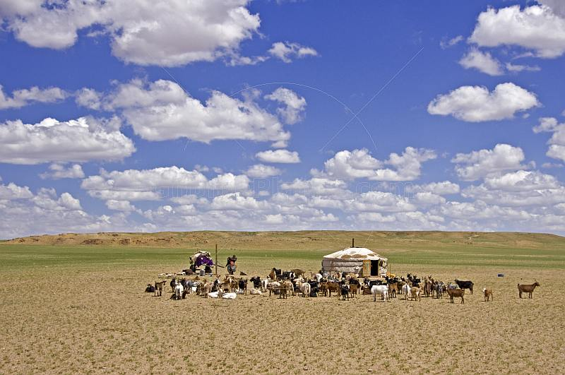 A lonely yurt and goat herd in the bare Mongolian plains.