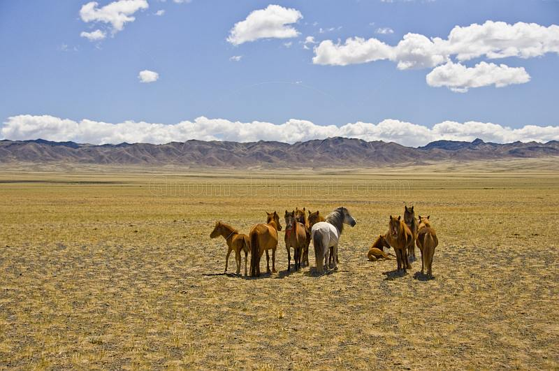 A herd of horses grazing on the arid Mongolian plains.
