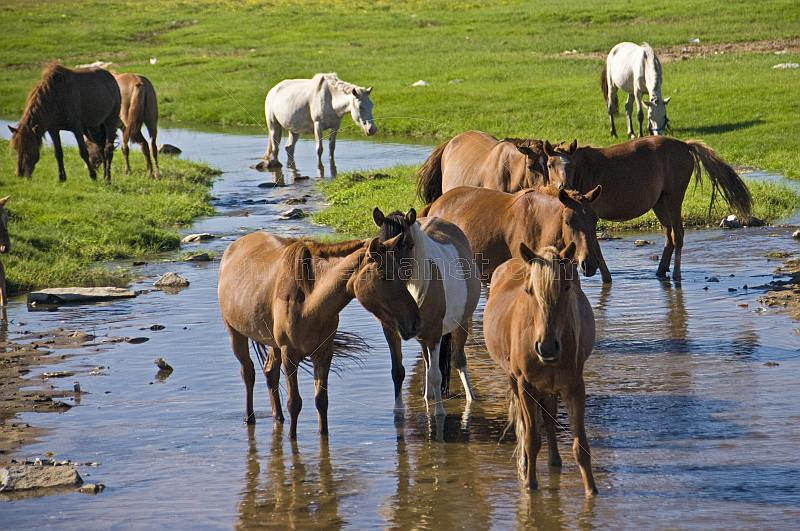 Mongolian horses standing in a stream.