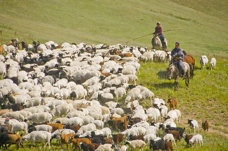 Sheep herders on horseback guiding their flocks through the mountains.