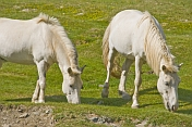 White horses grazing in the Gurvan Saikhan National Park.