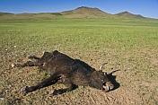 Dead cow on Mongolian plains, with vultures in the distance.