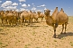 A herd of Bactrian Camels roam the Gobi desert.