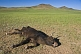 Image of Dead cow on Mongolian plains, with vultures in the distance.