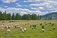 Sheep, goats, and cattle grazing in a forested river valley.