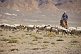 Image of Flock of sheep with herder on horseback near the Khyargas Nuur lake, near Naranbulag.