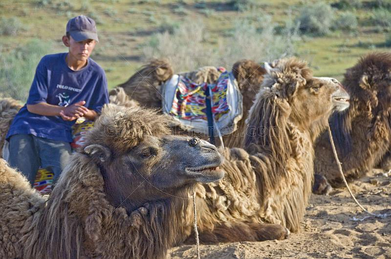 Uzbek camel driver waits with his Bactrian Camel charges in the Nuratau-Kyrzylkum Biosphere Reserve, near Lake Aidarkul.