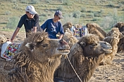 Bactrian camels waits patiently with their handlers.
