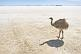 Image of Emu walking on the Uyuni Salt Flats at Isla Pescado.