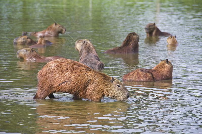 A herd of Capybara in a lake.