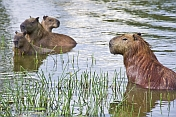 The capybara (Hydrochoerus hydrochaeris) is the largest living rodent in the world.