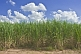 Image of Sugar cane growing on sandy soil under blue sky with clouds.