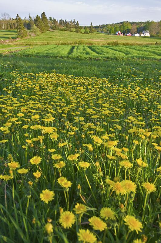 Field of yellow dandelions brightens the rural countryside.