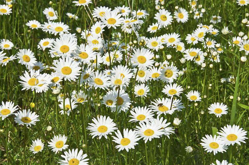 A field of white and yellow Ox-Eye Daisies (Chrysanthemum Leucanthemum).