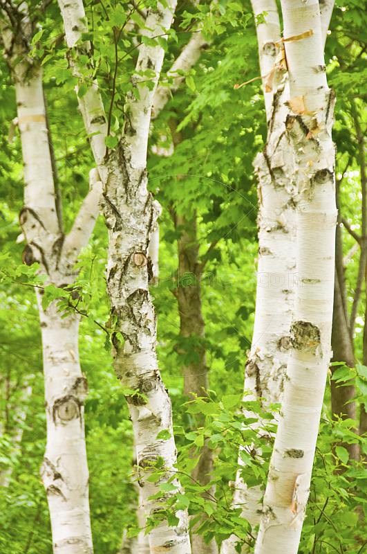 Birch tree trunks and foliage in Central Park.