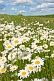 A field of white and yellow Ox-Eye Daisies (Chrysanthemum Leucanthemum) under blue sky and white clouds.