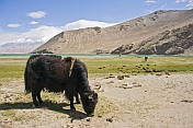 Yaks grazing next to Karakul Lake, near the Karakoram Highway between Kashgar and Tashkurgan.