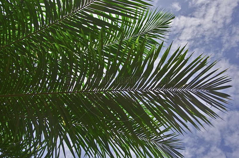 High clouds and a blue sky contrast the dark leaves of a palm tree.