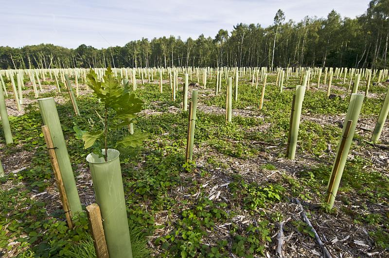 A forest of tree-shelters mark a new oak wood plantation.