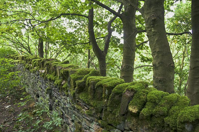 Moss-covered dry stone wall in sycamore (Acer pseudoplatanus) forest.