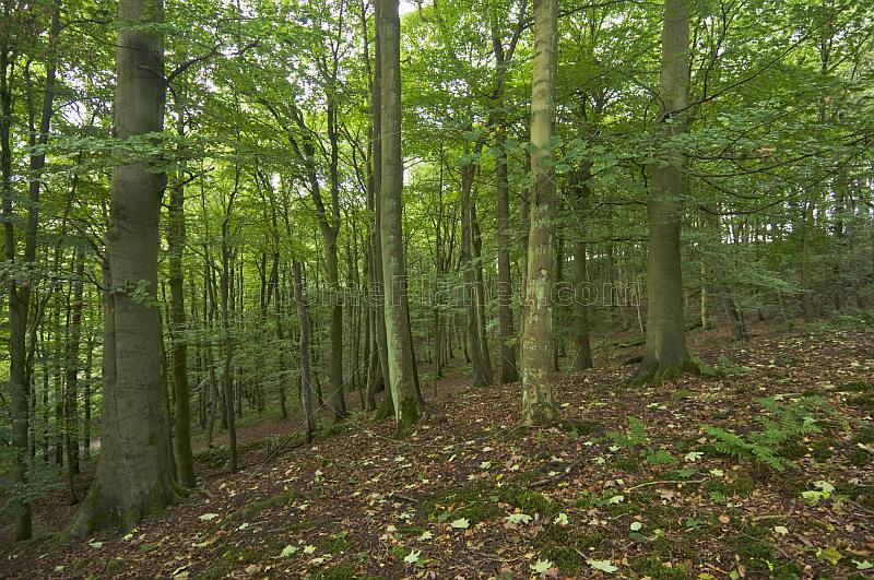 A deserted Beech (Fagus sylvatica) tree forest.