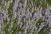 Red Admiral butterfly (Vanessa atalanta) feeding on Lavenders (Lavandula) flowers.
