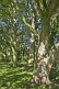 Sycamore (Acer pseudoplatanus) trees in dappled shade in Ilkley Park (or Riverside Gardens).