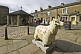 Flock to Skipton sheep scultpure with map decoration on Victoria Court.